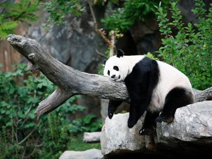 blog_panda_mei_xiang