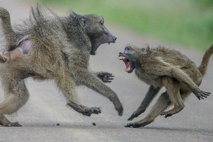 Aggressive-male-baboons