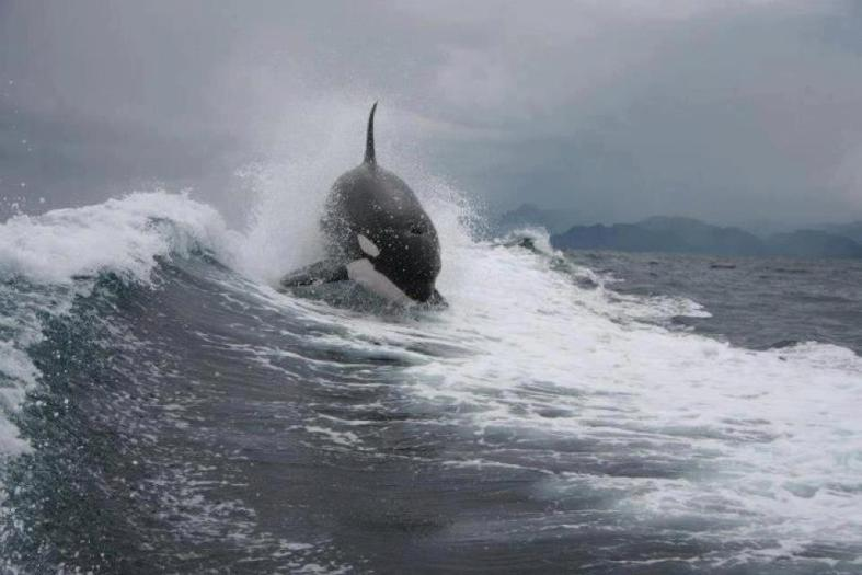 OrcaSurf