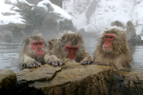 snow-monkeys-official